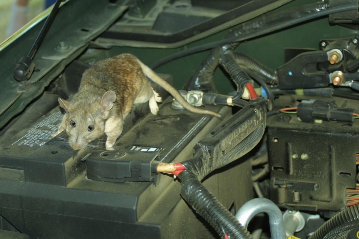 محافظت از خودرو در برابر جوندگان